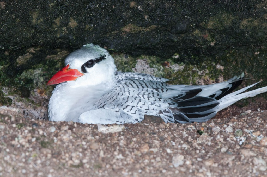 A Red-billed Tropicbird incubating its nest.